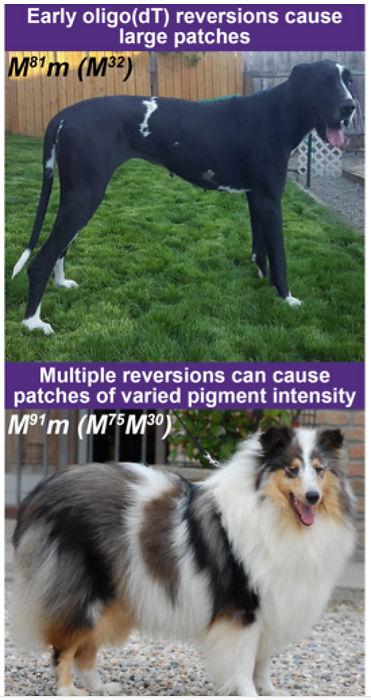 reversions of merle gene