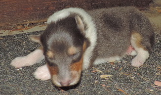 4- RARE Blue Merle Male - rough