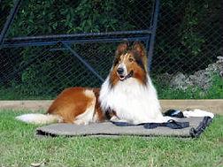 Lassie star