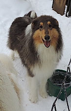 Maltese Grey Collie