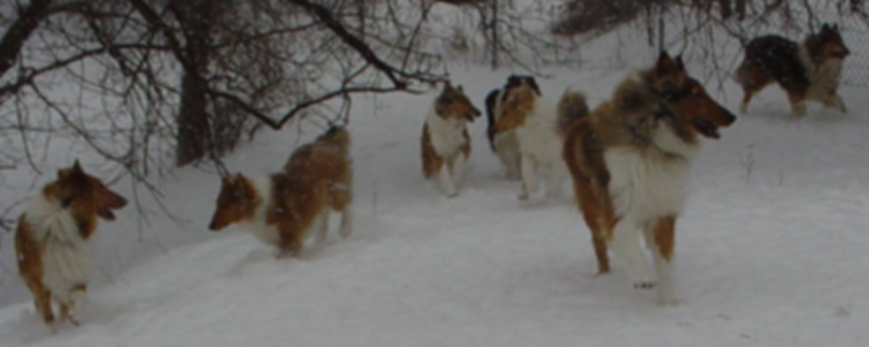 Stirling Collies - Collies in Snow, Stirlingcollies.com - Collie, Collie Puppies, Collie Breeder