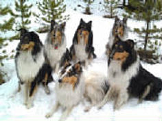 Stirling Collies in the woods and snow