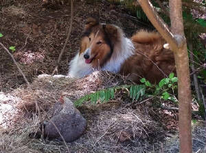 Stirling collie guarding her chicken