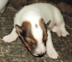 1-White, w/Sable Mkgs Male