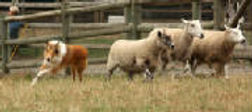Stirling Collie herding the sheep - dandy