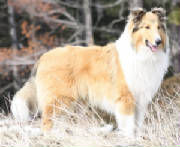 stirlingcollies Sable/White Collie