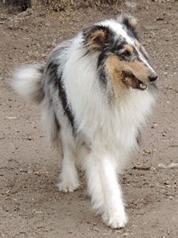 Stirlingcollies - Tri collie