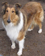 StirlingCollies - related to the Star in the Lassie Movie
