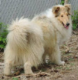StirlingCollies - Sable Merle/White Collie