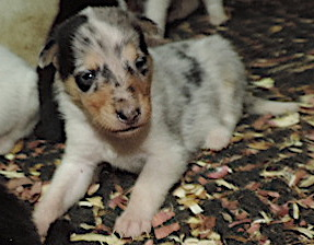 1-Blue Merle/White Female