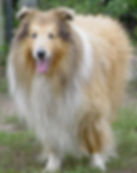 Stirlingcollies - Sable Merle/White AKC Collie