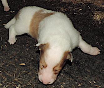 1-White, w/Sable Merle Mkgs Male
