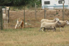 Stirling Collie herding the sheep
