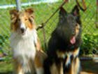 stirlingcollies -  Shepherd MIx and AKC Collie