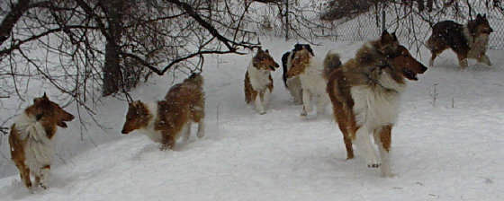 Collies romping in the snow