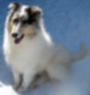 Stirlingcollies and Angelheart Collies