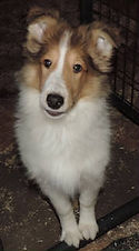 Stirlingcollies - White, w/sable mkgs Collie