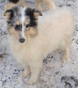 Stirlingcollies - white, w/blue merle mkgs collie