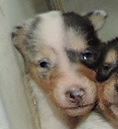 2-White, w/Blue Merle Mkgs Female