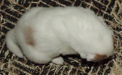 2-White, w/Sable Merle Mkgs Male