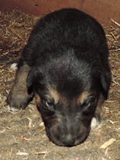 2-Black/Tan Male