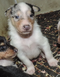 3-White, w/Blue Merle Mkgs Male