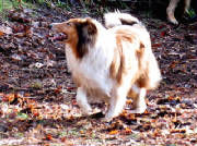 Stirling Collie prancing in the leaves