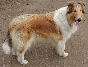 Stirlingcollies -  AKC Collie