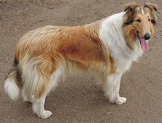 AKC Collie - Sable/White