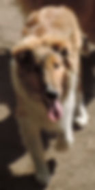 StirlingCollies - Sable/White Male