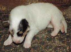 1-White, w/Blue Merle Mkgs Female