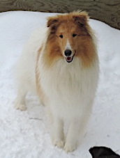 White Collie