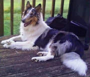 stirlingcollies -  Merle/White Collie