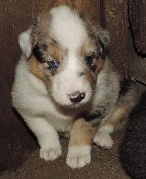 1-Blue Merle/White Female