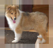 Stirlingcollies - sable/white collie