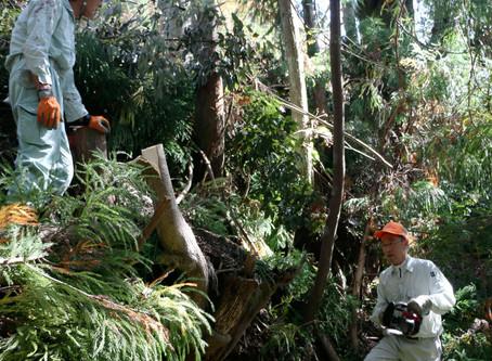 支障木伐採でスッキリ  西山地区まち協 クマノザクラ周辺整備