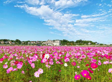 まるでピンクのカーペット 御浜町下市木 田んぼ一面にコスモス