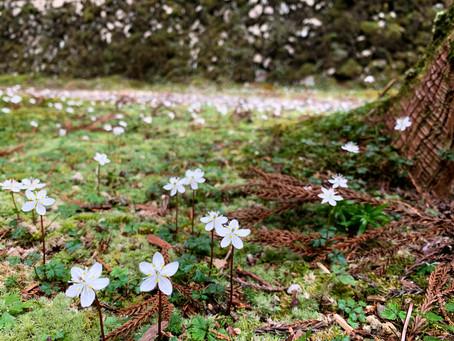 可憐な花が春告げる 山間部の神社  バイカオウレンが開花