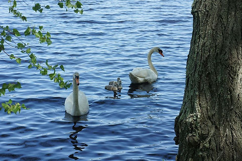 swans with babies.jpg