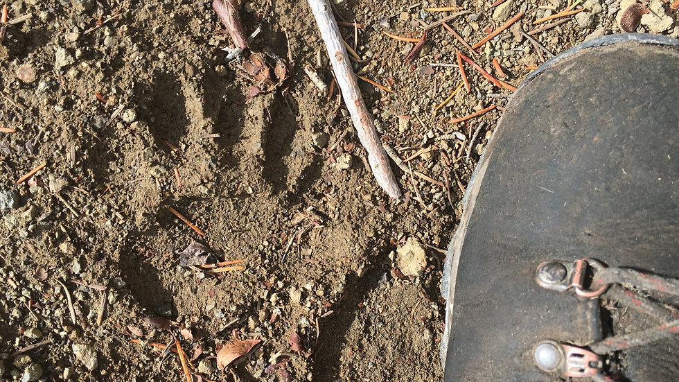 Intermediate Wildlife Tracks & Sign Online Course (CEU)