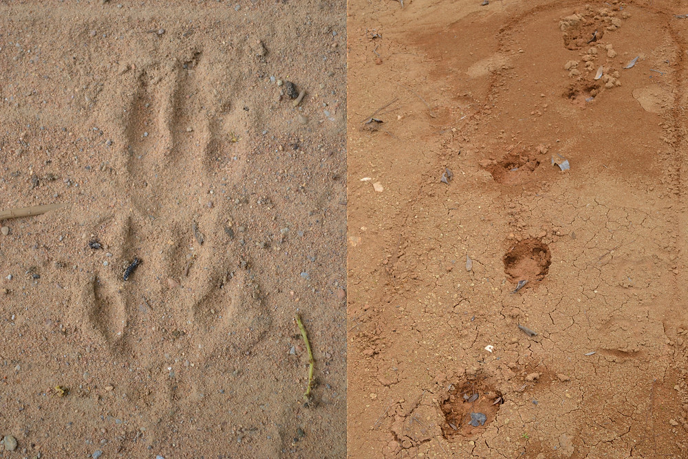 Paca Tracks (left) & Tapir Trail (right)