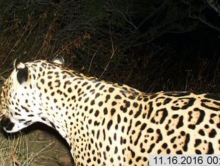New Jaguar Tracks