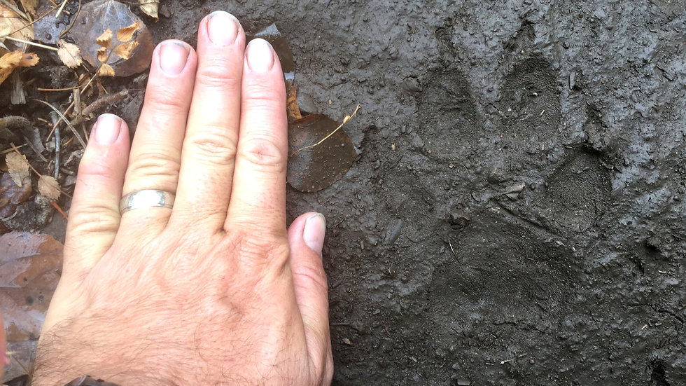 Introductory Wildlife Tracks & Sign Online Course (CEU)