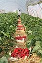 fraises Moxhe
