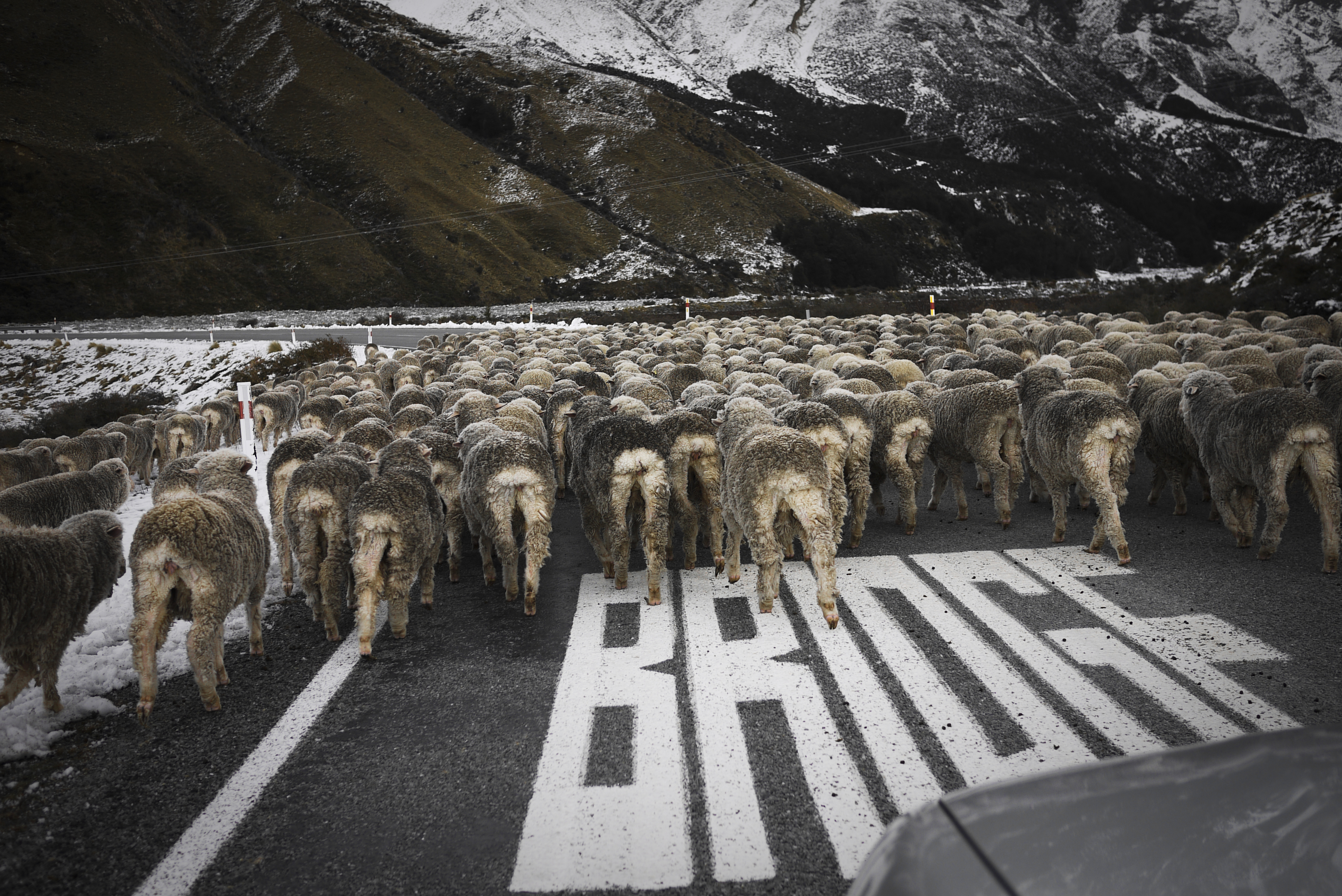 Crossing sheep // New Zealand
