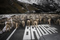 Crossing sheep // New Zealand