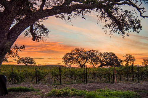 Oak-framed sunrise over the vineyard