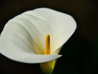 The Meaning of the Calla Lily