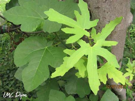 Figuier Ficus carica  Moraceae