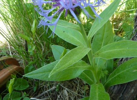Centaurée: Centaurea  Asteraceae